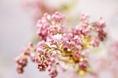 Sprig of pink lilac (close-up)