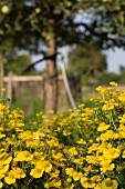 Yellow-flowering ox-eye chamomile in cottage garden