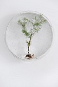 Fir tree seedling in glass vase in white wicker basket hung on wall
