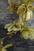 A vine of hops flowers