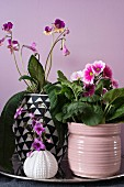 Pink German primrose and African violet (Streptocarpus)
