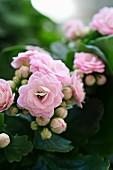 Pink-flowering Flaming Katy 'Calandiva'