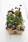 Osterdekoration mit Kresse, Wachteleiern und Blumen im Eierkarton