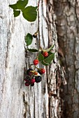 Sprig of blackberries hanging on trunk of old tree