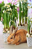 Pale brown rabbit amongst many pots of flowering narcissus