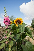 Sunflower and pink hollyhock in front of picket fence