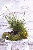 A plant ball made of moss and fountain grass being made