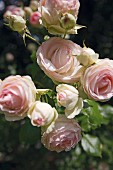 Delicate pink 'Summer Memories' roses (English breed)