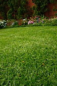 Dense lawn of Kikuyu grass in garden with blooming flowerbed in background