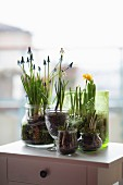Crocuses, grape hyacinths, narcissus & spring snowflakes planted in decorative jars