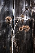 Dried spiky seedheads against weathered wooden wall outdoors