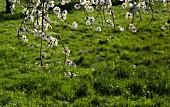 Branches of flowering wild cherry in spring meadow