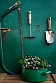 Still-life arrangement of violas in enamel saucepan below trowel, rake & saw on wall