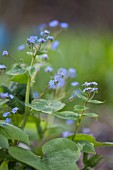 Forget-me-nots against blurred background