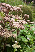 Sedum with pale pink flowers in garden