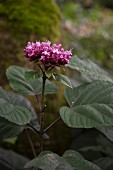 Pink flower spike of Clerodendrum bungei