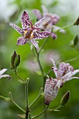 Speckled toad lily flowers