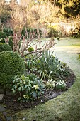 Snowdrops and box ball in curved flowerbed in garden with frosty lawn