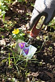 Hand in gardening glove digging with trowel between winter aconites and crocuses