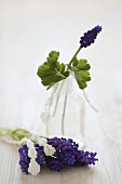 Grape hyacinth in jar and on table