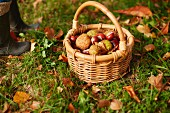 Small basket of gathered conkers on grass amongst autumn leaves