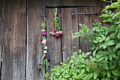 Braid of flowers and bouquet of Sweet William hung on wooden-board wall