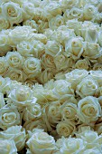 Sea of white roses
