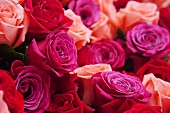 Roses in various shades of red and pink