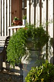 Foliage plant on top of old milk churn outside wooden house in autumn sunshine