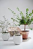 Bonsai trees in terracotta pot next to white pots