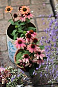 Purple coneflowers (Echinacea) in old tin cans