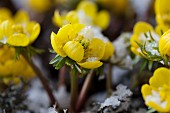 Winter aconite in the snow