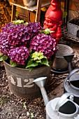 Arrangement of hydrangeas in zinc bucket, zinc watering can and red garden gnome in garden