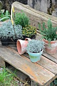 Various potted herbs in wire basket on rustic wooden pallet in garden