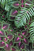 Coleus and fern leaves