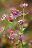 Close-up of pink astrantia