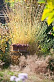Autumnal yellow grasses in garden