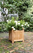 Panicle hydrangea planted in DIY wooden planter