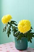 Gelbe Chrysanthemen in Übertopf vor türkisfarbener Wand