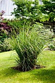 Pampas grass neatly tied up in be in mown lawn