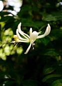 White honeysuckle in garden