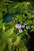 Purple flowering garden plant and fern