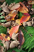 Bunt gefärbtes Herbstlaub auf Farnblättern
