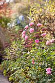 Pink-flowering rose in autumnal garden