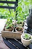 Seedlings in terracotta pots in vintage wooden box with handle on garden table