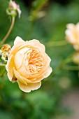 Apricotfarbene Rosenblüte 'Kronprinzessin Margareta'