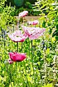 Pink poppies in a summer garden
