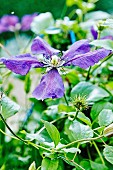 Violet-flowered clematis