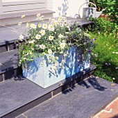 Ox-eye daisies and lobelia in hand-made concrete planting trough on steps