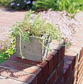 Sedum planted in home-made, cubic concrete planter